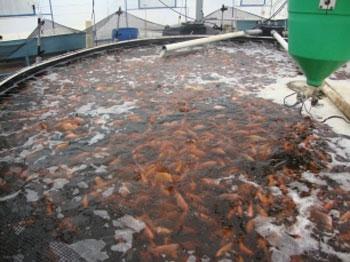 Logran cultivar tilapia en agua de mar m xico nuestromar for En cuanto tiempo se cosecha la tilapia