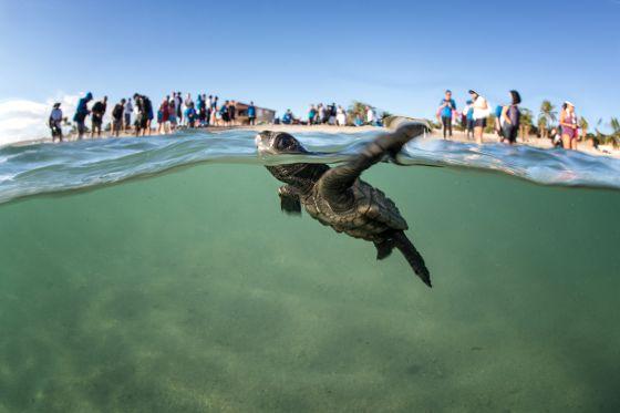la extincion de las tortugas marinas: