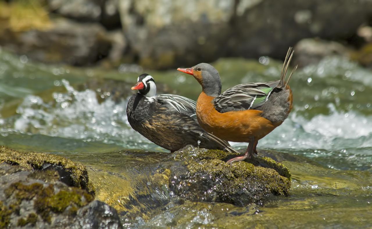 El pato de los torrentes la joya patagnica perseguida por un